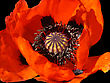 Beautiful Blooming Red Poppy Flower On Black stock photography