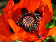 Beautiful Blooming Red Poppy Flower Close Up stock photography