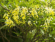 Tropical Beautiful Blooming Yellow Golden Shower Tree, (Cassia Fistula stock image