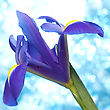 Beautiful Blue Iris Flowers Background stock photography