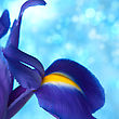 Beautiful Blue Iris Flowers Background stock image