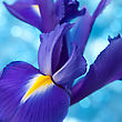 Beautiful Blue Iris Flowers Background stock photo