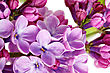 Beautiful Bunch Of Lilac Close-up stock image