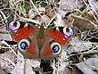 Beautiful Butterfly On Dry Foliage stock photography