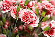 Beautiful Carnation Flowers Or Pinks In The Flowerbed stock image