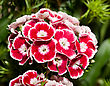 Beautiful Carnation Or Pink Flowers In The Flowerbed