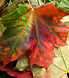 Beautiful Colored Fall Leaves, Autumn Background stock image