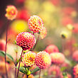 Beautiful Dahlia Flowers Under Bright Autumnal Sun stock photography