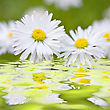 Beautiful Daisies. Floral Background. Shallow Focus stock image