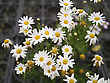 Center Beautiful Floral Pattern With Lots Of Paris Daisy,Leucanthemum Paludosum stock photo