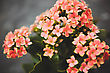 Beautiful Flowers In The Garden Greenhouse Kalanchoe stock photo