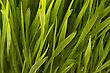 Pasturage Beautiful Grass With Early Dew Background stock photo