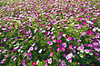 Autumn Beautiful Group Field Of Bloom Flowers Cosmos Bipinnatus stock photo