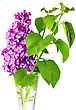Beautiful Lilac In The Vase. Isolated Over White stock photography