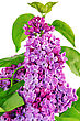 Beautiful Lilac . Isolated Over White stock image