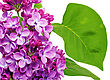 Beautiful Lilac . Isolated Over White stock photography