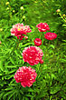 Beautiful Peonies. Floral Field. Shallow Focus stock photography
