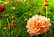 Beautiful Peonies. Floral Field. Shallow Focus stock image