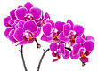 Tropical Beautiful Pink Orchid Isolated On White Background stock photo