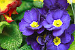 Beautiful Purple Violet Flowers Close-up stock image