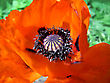 Beautiful Red Poppy Flower Close Up stock photo