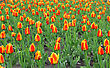 Beautiful Red Tulips Field In Spring Time stock image