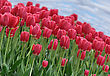 Beautiful Red Tulips Field In The Spring Time
