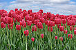 Beautiful Red Tulips Field In The Spring Time stock photo