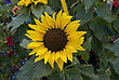 Beautiful Shot Of Sunflower On Background Of Leaves stock image