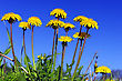 Beautiful Spring Flowers-dandelions In A Wild Field stock image