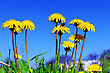 Beautiful Spring Flowers-dandelions In A Wild Field stock photography
