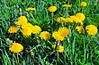 Beautiful Spring Flowers-dandelions In A Wild Field. Early Morning stock photography
