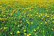 Beautiful Spring Flowers-dandelions In A Wild Field. Early Morning