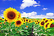 Pollen Beautiful Sunflowers In The Field With Bright Blue Sky stock photography