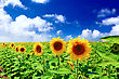 Blooming Beautiful Sunflowers In The Field With Bright Blue Sky stock photography