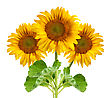 Beautiful Sunflowers stock image