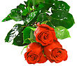 Beautiful Three Pink Roses stock photo