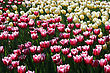 Beautiful Tulips Background stock photo