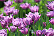 Beautiful Tulips In Spring Park stock photography
