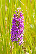 Beautiful Violet Flower Bloom In A Summer Meadow stock photo