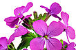 Beautiful Violet Flower.Closeup On White Background. Isolated stock image