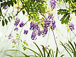 Beautiful Wisteria Sinensis Flowers Blooming In Springtime stock photo