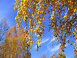 Beautiful Yellow Autumn Trees On Blue Sky Background stock photography