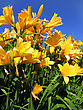 Beautiful Yellow Flowers On Blue Sky Background stock photo