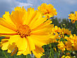 Beautiful Yellow Flowers (coreopsis Grandiflora) In Summer Garden stock image