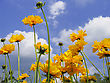 Beautiful Yellow Flowers (coreopsis Grandiflora) In Summer Garden stock photo