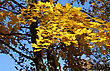 Beautiful Yellow Foliage Of Autumn Maple stock photo