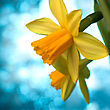 Beautiful Yellow Narcissus Or Daffodil Flowers Background stock image