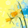 Beautiful Yellow Narcissus Or Daffodil Flowers Background stock photography