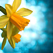 Desktop Beautiful Yellow Narcissus Or Daffodil Flowers Background stock image